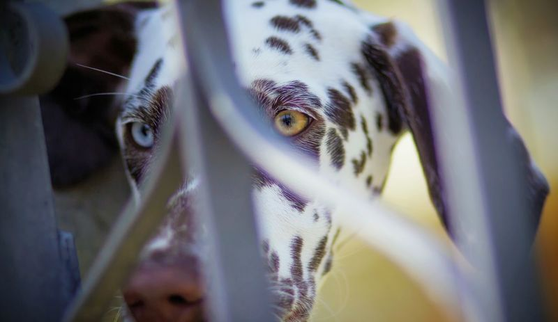 Colors in Black & White Dog Dogseye Bi-Color Dalmatian Dog Dog Snout Pois Portrait Close-up Eye Eye Color Animal Eye Pets Canine