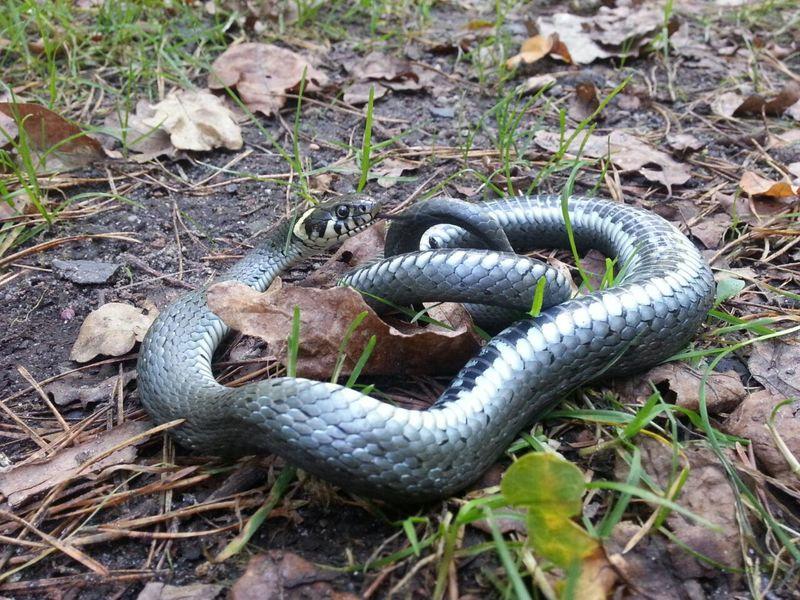 Snake Schlange  Ringelnatter Nature Natur