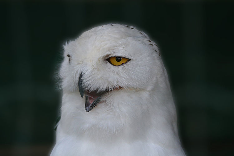 Close-Up Of White Owl