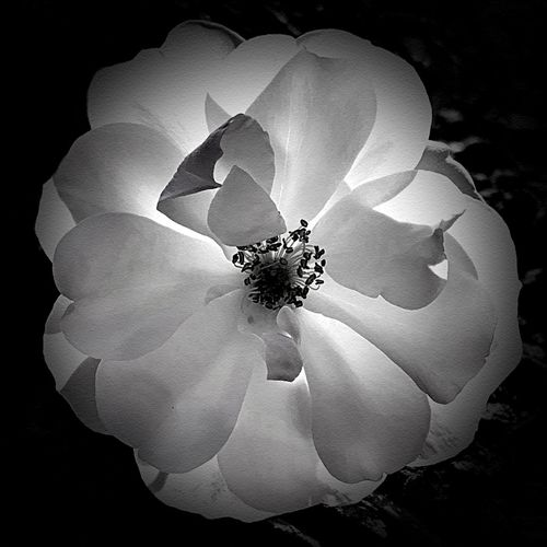 """Backlit Beauty"" A beautiful white flower with delicate petals is captured with the late afternoon sun backlighting it in glory. Black And White Photography Black & White Black And White Blackandwhite Backlight Backlit Fragility Vulnerability  Plant Flower Beauty In Nature Flowering Plant Petal Inflorescence White Color"
