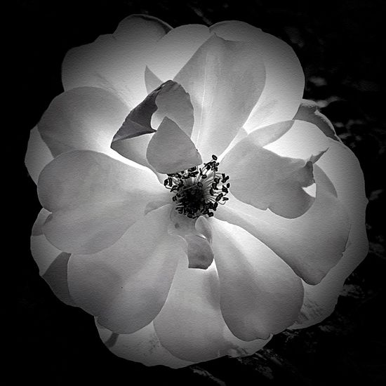 """""""Backlit Beauty"""" A beautiful white flower with delicate petals is captured with the late afternoon sun backlighting it in glory. Black And White Photography Black & White Black And White Blackandwhite Backlight Backlit Fragility Vulnerability  Plant Flower Beauty In Nature Flowering Plant Petal Inflorescence White Color"""