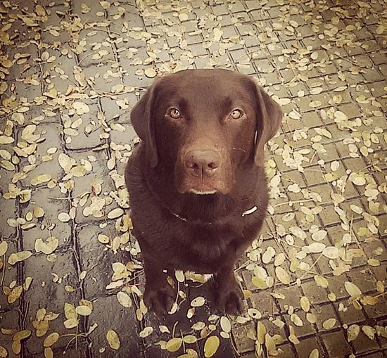 Looking At Camera Dog Pets Portrait Labrador Retriever Domestic Animals One Animal Mammal Black Labrador Animal Themes Animal Retriever No People Day Chocolate Chocolatelab Chocolatelabrador Autumn🍁🍁🍁 Sweetdog Sweetgirl Perrosdeinstagram Lovedogs Mylife❤ Petshop Petgrooming First Eyeem Photo