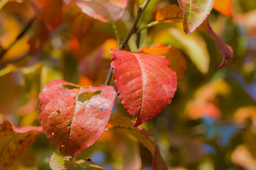 Autumn Changing Seasons Changing Colors Fall Colors Nature Plant Red Branch Canon60d Canonphotography Fall Focus On Foreground Leaf