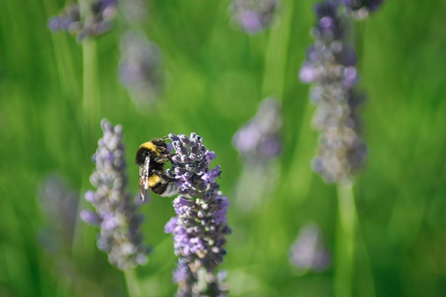 Pollinator. Flower Purple Insect One Animal Nature Animal Themes Lavender Animals In The Wild Focus On Foreground Plant No People Day Fragility Beauty In Nature Growth Outdoors Petal Bee Close-up Animal Wildlife First Eyeem Photo EyeEmNewHere Plant Pollination