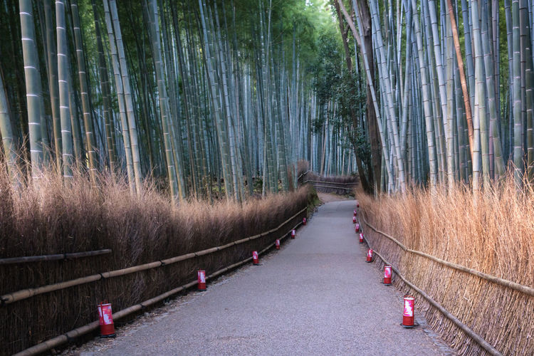 Panoramic view of bamboo trees in forest