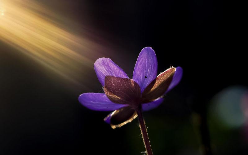 Common Hepatica Dunkler Hintergrund Gegenlicht Gewöhnliches Leberblümchen Hepatica Nobilis Leberblümchen Lichtstrahlen Pflanze  Sonnenstrahlen
