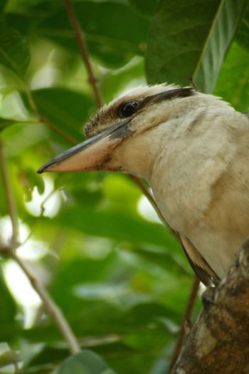 Kookaburra Bird Photography Wildlife Wildlife Photography Nature Photography Australia Canon Photography Bird Animal Themes One Animal Animal Wildlife Animals In The Wild Animal Vertebrate Close-up No People Focus On Foreground Beak Nature Day Leaf Plant Plant Part Side View Outdoors