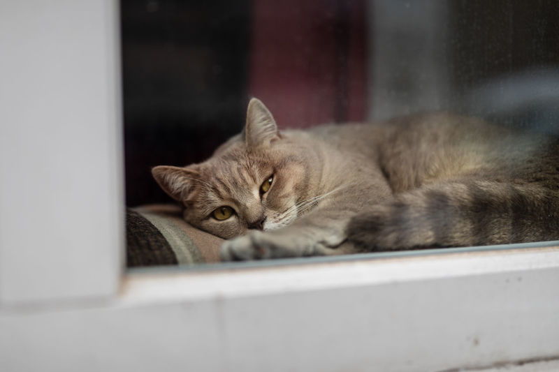 Portrait of cat lying down on window