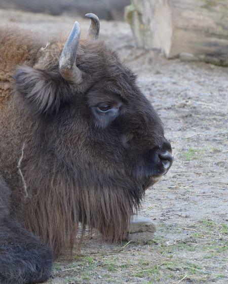 european bison European Bison Bison Bisongang Bisons Animal One Animal Mammal Animal Wildlife Animals In The Wild No People Animal Themes Outdoors