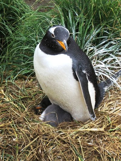 Gentoo Penguin and Chick Sub Antarctics Uncommon  Gentoo Penguin Macquarie Island Near Threatened Chick Bird Animals In The Wild Animal Themes Animal Wildlife Nature One Animal No People