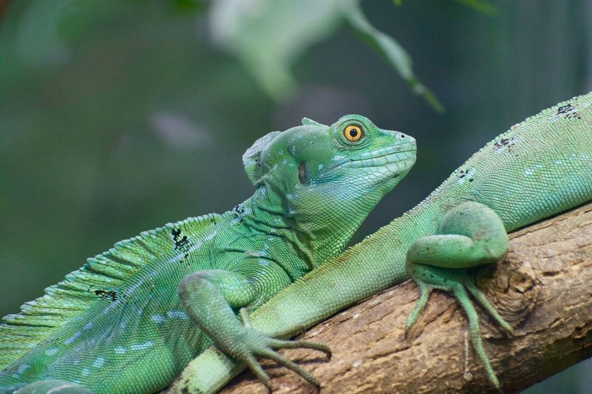 Animals In The Wild Animal Animal Body Part Animal Eye Animal Head  Animal Photography Animal Scale Animal Themes Animal Wildlife Animals Animals In The Wild Branch Close-up Day Focus On Foreground Green Color Iguana Lizard Nature No People One Animal Outdoors Plant Reptile Tree Vertebrate