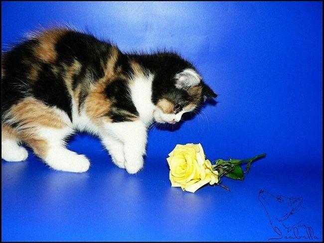 кошка Cat Аллегра роза британка котёнок