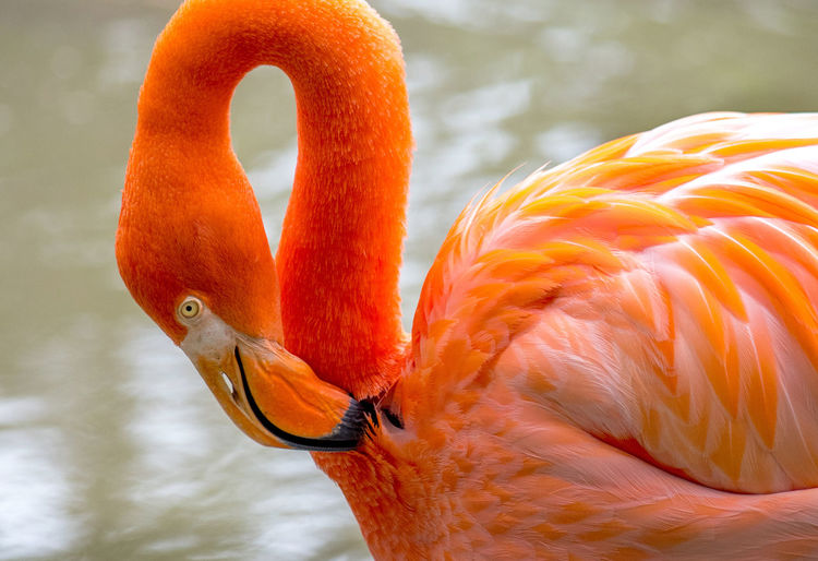 Closeup of a beautiful waterbird flamingo, grooming in the waters of a  habitat