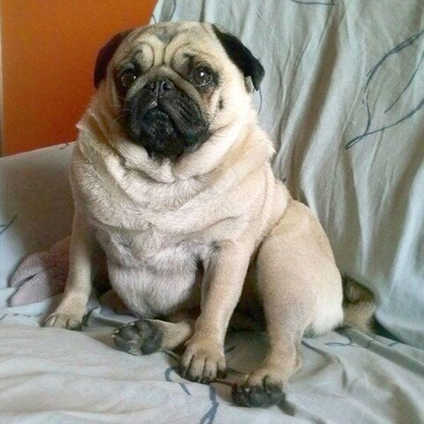 Signorina Mathilda Pug Lovepugs Pug Love Puglife Pugs Carlino Carlino Cane Dog Carlino Pug