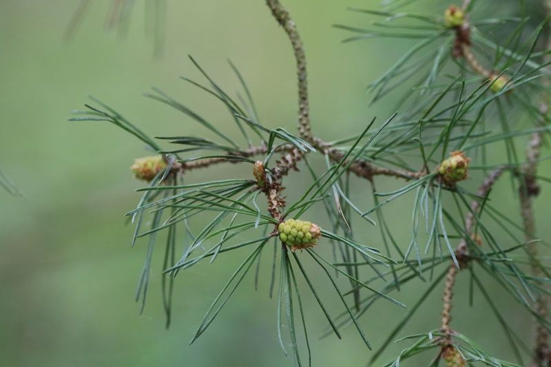 Pine Cones Growing Close-up Invertebrate Focus On Foreground Plant No People Beauty In Nature Growth Outdoors Green Color Nature