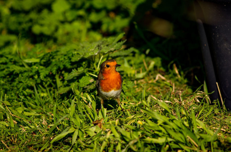 Animal Themes Animals In The Wild Beauty In Nature Bird Close-up Day Grass Green Color Growth Leaf Nature No People One Animal Outdoors Perching Plant Robin