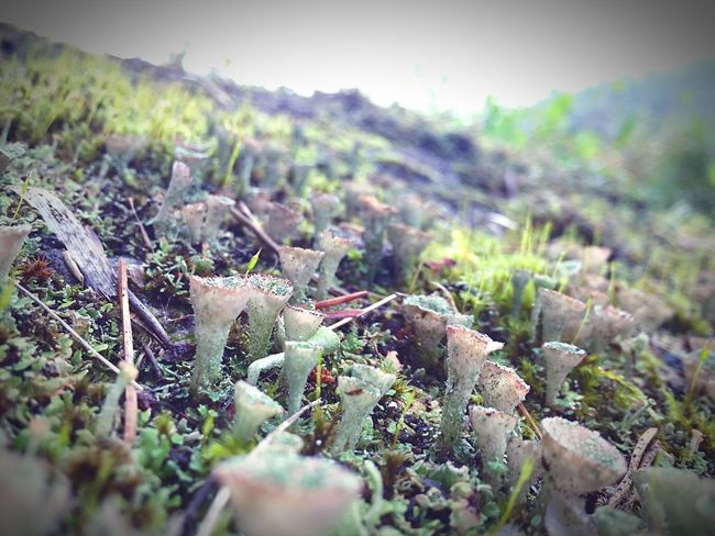Miniature Alien Fungus Mushrooms Forest Strange Forest Strange Forms Of Nature Green Color Cap Hat Growing Vegetation Vegetation Textures No People Green Outdoors Growth Focus On Foreground Selective Focus Close-up Botany Fragility Fall Grass Swamp