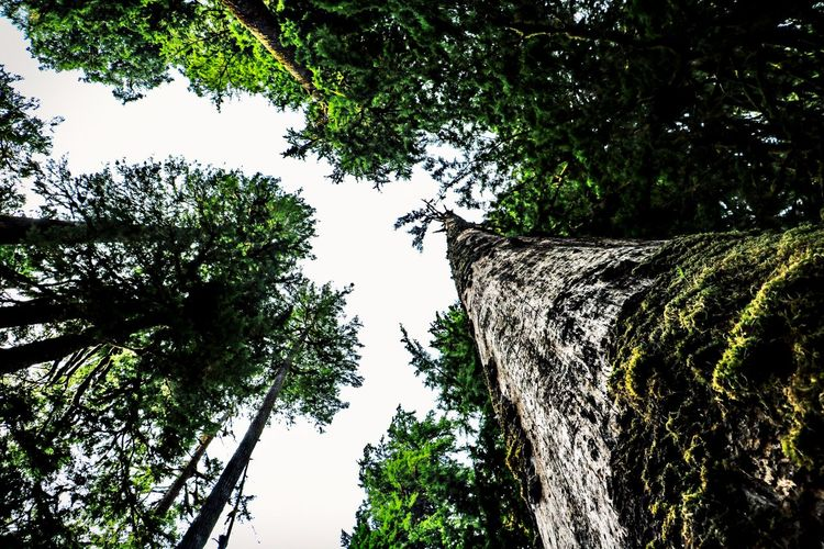 Tree Plant Growth Low Angle View Tree Trunk Trunk Nature No People Beauty In Nature Tranquility Forest Green Color Bark Scenics - Nature Tree Canopy  Outdoors Hoh Rainforest Olympic National Park