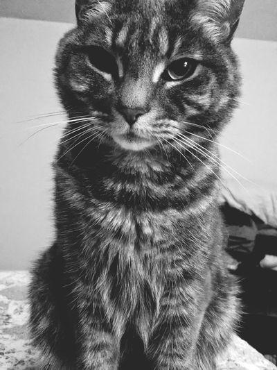 Lola the cat Cats Ninjakitties