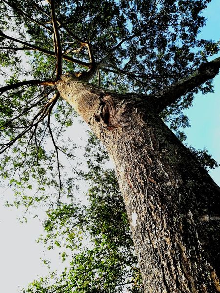 EyeEmNewHere Tree Low Angle View Branch Day Growth Nature Sky No People Outdoors Beauty In Nature Tree Trunk Forest Backgrounds EyeEm Nature Lover