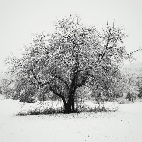 IPS2016White Tree Treeinwinter White Snowcovered IPhoneography IPhone Photography Iphonephotography Mobilephotography Solitary Solitary Moments Sentinel Snowlandscapes
