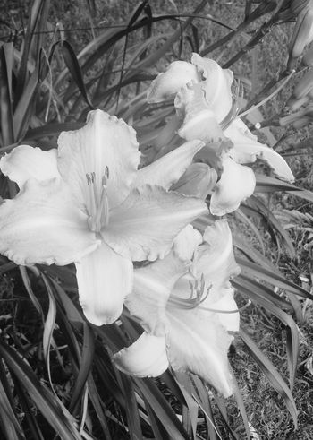 Lily Beauty Nature Flower Artistic Fine Art Photography Floral Photography Summertime Springtime Spring Flowers Blackandwhite Blackandwhite Photography