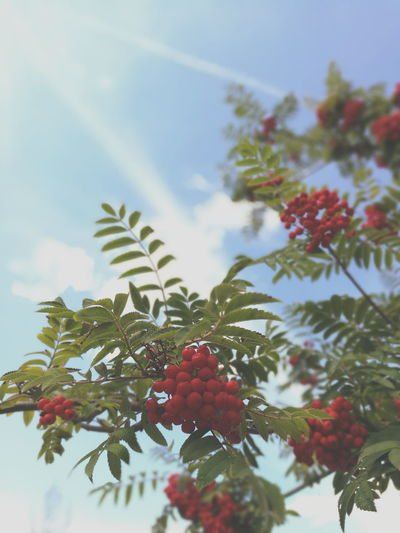 Nature Nature Photography Trees Berries Sky Sky And Clouds Blue Sky Blue Green Red Bokeh Bokeh Photography HuaweiP9 Smartphone