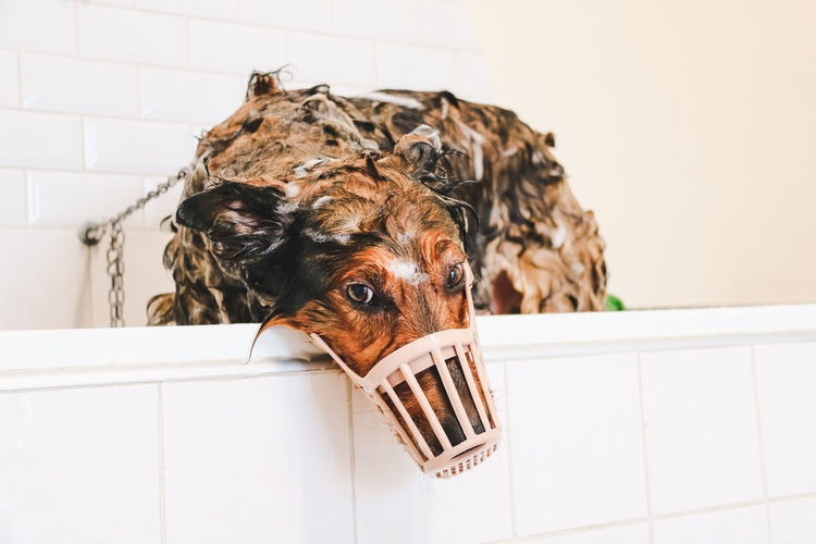 Close-up of a dog soapy in the tub