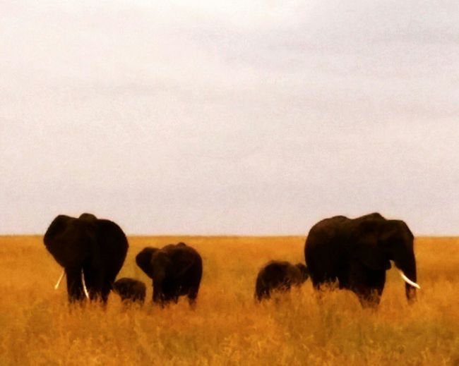 Elephants Tanzania Safari Yellow Nature Bestphotos Thebestphoto_collection Mybestphoto2015 Family