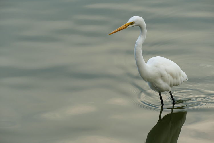 Animal Themes Animals In The Wild Avian Beak Bird Egretta Egretta Intermedia Intermediate Egret. Kaohsiung Lake Lotus Lake Nature Photography In Motion Shorebirds Taiwan Wader Water White Wildlife