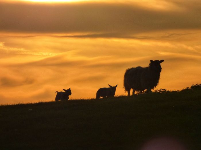 Low angle view of silhouette sheep with lambs against orange sky