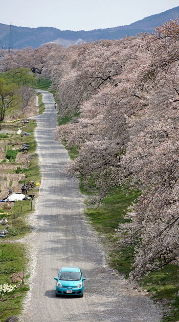 Alone Cherry Blossom Sakura Alone On The Road Beautiful Road Beauty In Nature Blue Car Car Full Bloom Mode Of Transportation Nature No People Outdoors Road Scenics - Nature Spring Springtime Transportation Travel