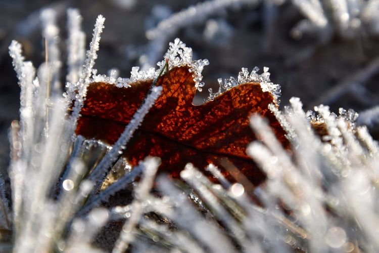 Bevroren blad EyeEm Selects Cold Temperature Frozen Winter Close-up Ice Snow Leaf Day Plant Frost No People Nature Selective Focus Plant Part Beauty In Nature Red Focus On Foreground Outdoors White Color Cold