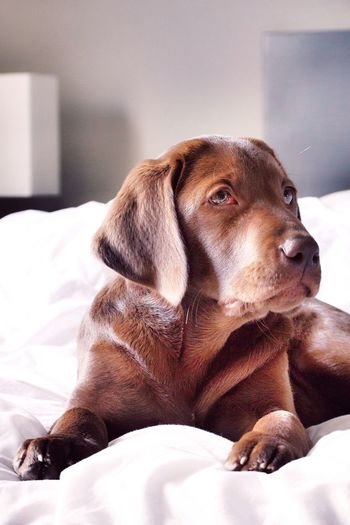 Chocolate labrador on bed