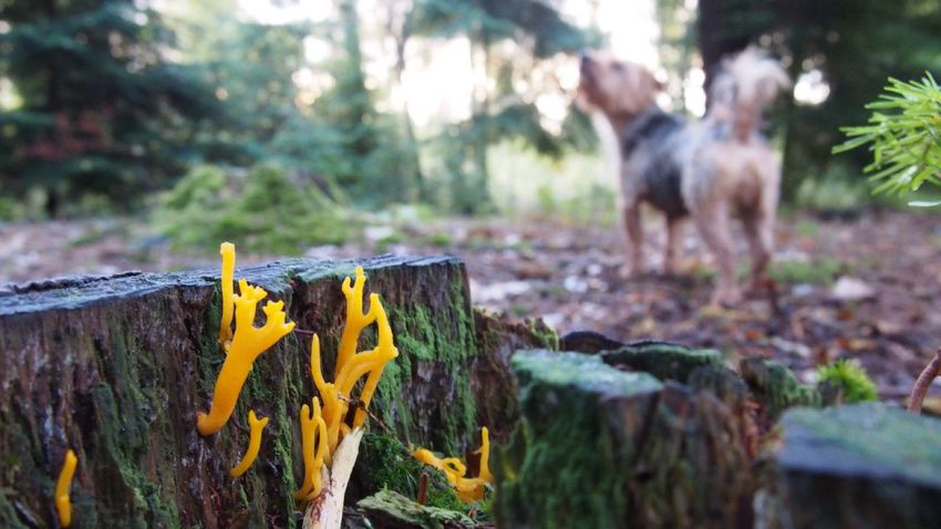 Stag Horn Fungi 🍄🍄🍄 In The Woods In The Forest Yorkie Outdoors Focus On Foreground Animal Themes Day No People Nature Domestic Animals Tree Dog Mammal Close-up Beauty In Nature