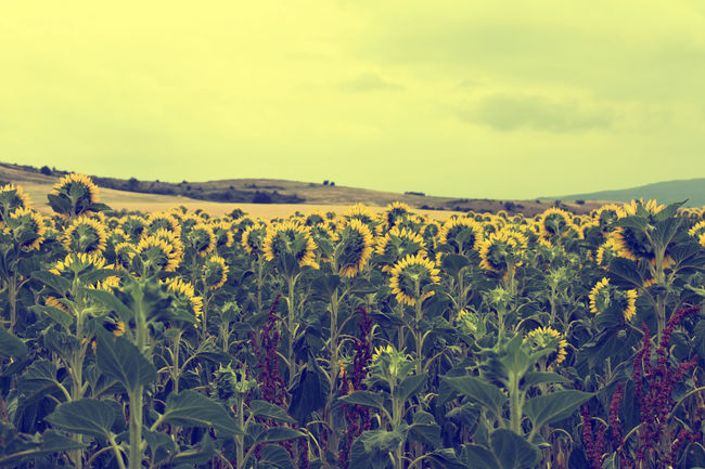 Dreamy Sunflowers Backview Day Dream Field Flower Landscape Nature No People Nostalgy Old Outdoors Pastel Power Photocats  Retro Sunflowers TRENDING  Vintage Vintage Cars Violet Yellow