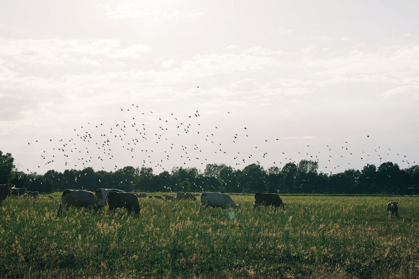Bird Flock Of Birds Large Group Of Animals Flying Animals In The Wild Animal Themes Animal Wildlife Mid-air Nature Sky Beauty In Nature Outdoors Agriculture Landscape Grass No People Rural Scene Togetherness Day Sommergefühle