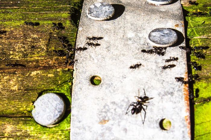 Ants Ant Life Ant Line Ant Colony Ant Parade Mossy Wood Accentuated Movement Movement Blur Rusty Nail Weathered Weathered Rail Green And Black Insects  Close-up Wood - Material Wood Grain Wood Grain Texture