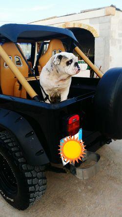 Jeep #wrangler #pride #and #joy Jeep Life Jeep #wrangler #pride #and #joy Jeep Wrangler  English Bulldog Selfportrait Color Portrait Hello World My Lovely Dog Lov❤