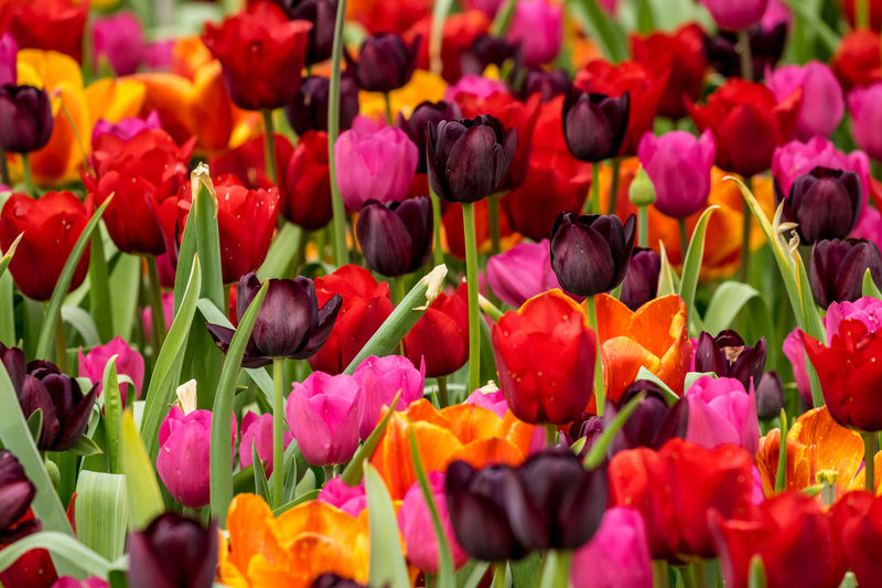 Close up of colorful Tulips flower heads Flowering Plant Flower Vulnerability  Plant Freshness Beauty In Nature Flower Head Petal Tulip Close-up Nature No People Pink Color Botany Springtime Colorful