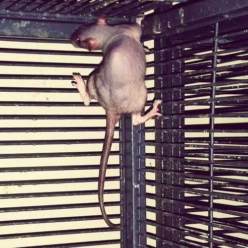 Serenity Hairlessrat Love That Hairless Style... Animal Love Petlover Rats(: