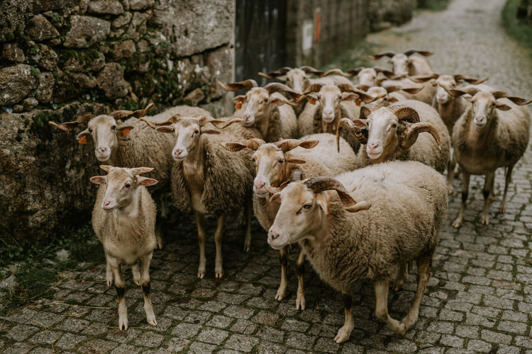 Sheep standing in a farm