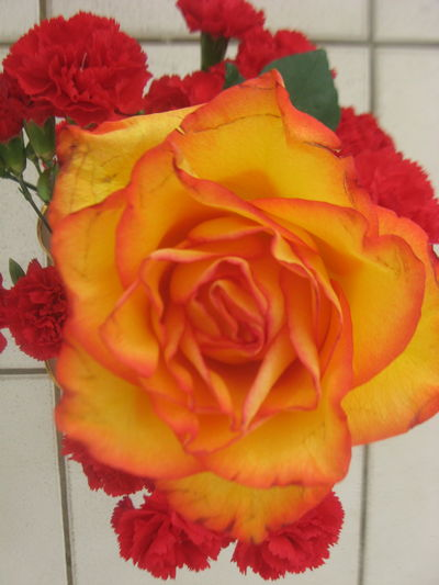 Beauty In Nature Blooming Close-up Day Erial View Flower Flower Flower Head Fragility Freshness Growth Love Nature No People Orange Color Orange Flower Orange Rose Outdoors Petal Plant Red Rose - Flower