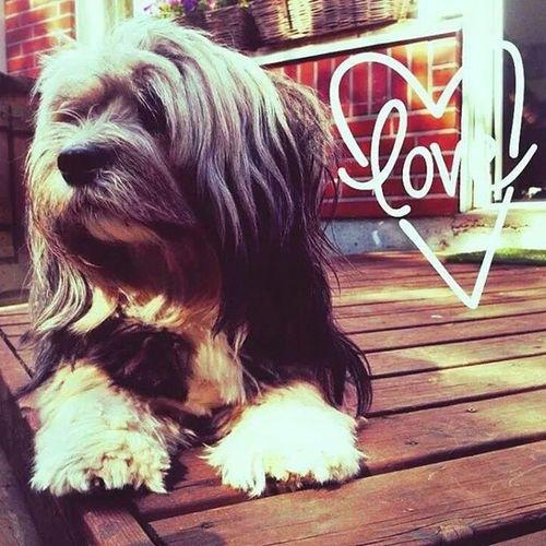 Welshcorgi Lhasoapso Mylove Dog Suffeli bestfriend mydogisbest best