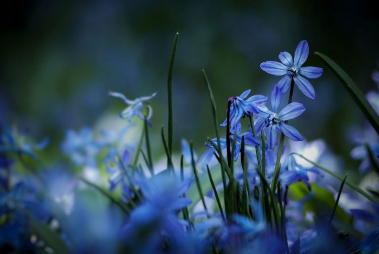 Garden Nature Poetry Blue Color Dark Blue Flower Porn Idyllic Scilla Blausternchen Spring Springtime Beauty In Nature Growing Flower Head Flower Beauty Blue Close-up Plant Blossom Blooming Botany Petal Flowering Plant Fragility Plant Life Stamen Pollen Pistil In Bloom My Best Photo