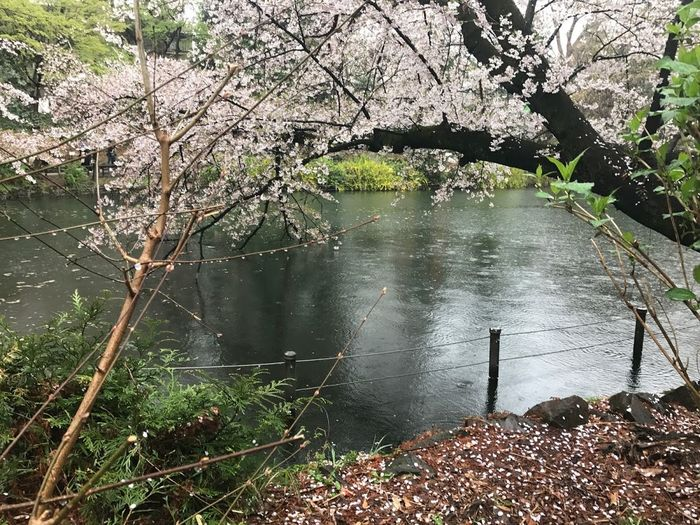 Cherry Blossoms EyeEmNewHere Inokashira Park
