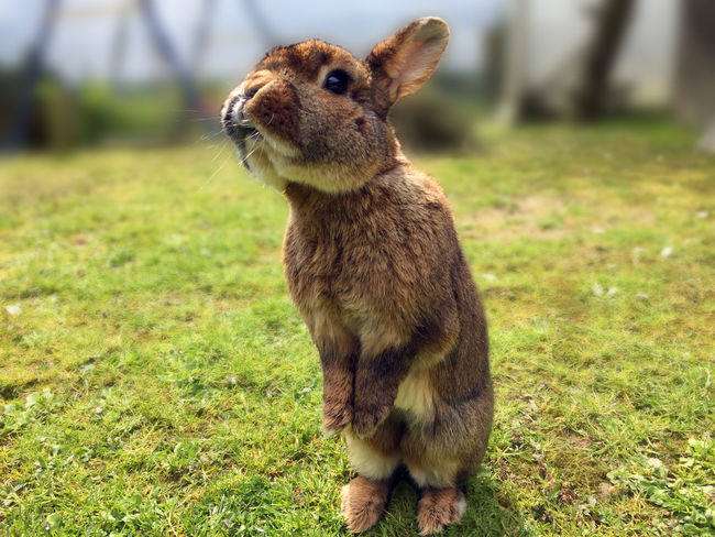 Our old and happy rabbit in closeup, curious begging for goodies. Begging Close-up Domestic Animals Grass Hare Mammal One Animal Pets Portrait Rabbit Standing