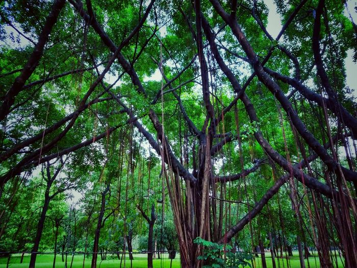 Tree Photography Tree View Low Angle View Banyan Banyan Tree Banyan Root Banyan Tree Roots Banyan Tree Trunk Beautiful Nature Beauty Of Nature Beauty Of Tree Tree In The Park The Park Big Tree Big Truck Nature Photography Tree In Nature Green Tree Green Trees Tree Tree Trunk Green Color