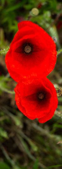 British Legion Flanders Flanders Fields Beauty In Nature Close-up Flower Flower Head Flowering Plant Focus On Foreground Fragility Freshness Growth Inflorescence Nature No People Outdoors Petal Plant Pollen Poppy Poppy Field Poppy Flowers Red Remberance Vibrant Color Vulnerability  Ww1 Ww1 Memorial