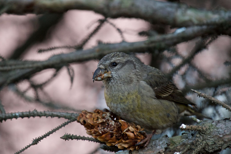 Female crossbill Eating Loxia Curvirostra Red Crossbill Female Animal Themes Animal Wildlife Animals In The Wild Beauty In Nature Bird Branch Close-up Conifer Cone Day Focus On Foreground Nature No People One Animal Outdoors Perching Sparrow Twig
